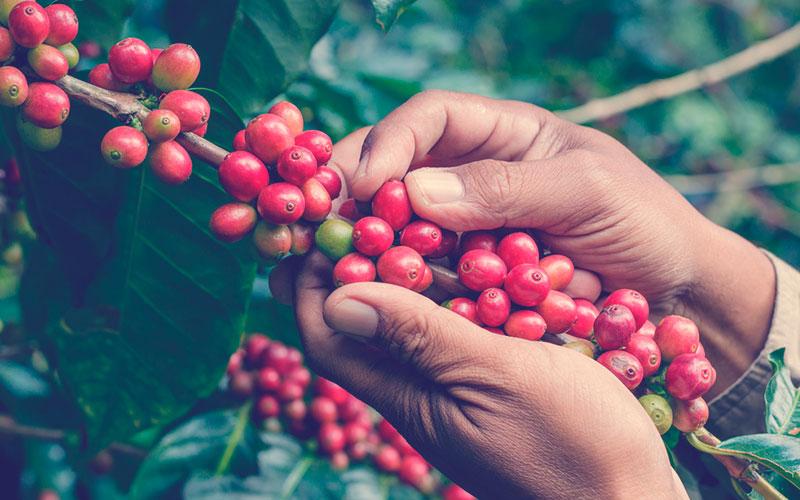 Café colombiano cultivo
