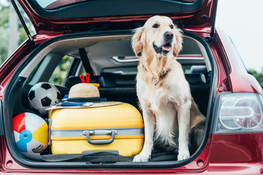 Perro labrador dentro de un carro listo para salir de viaje