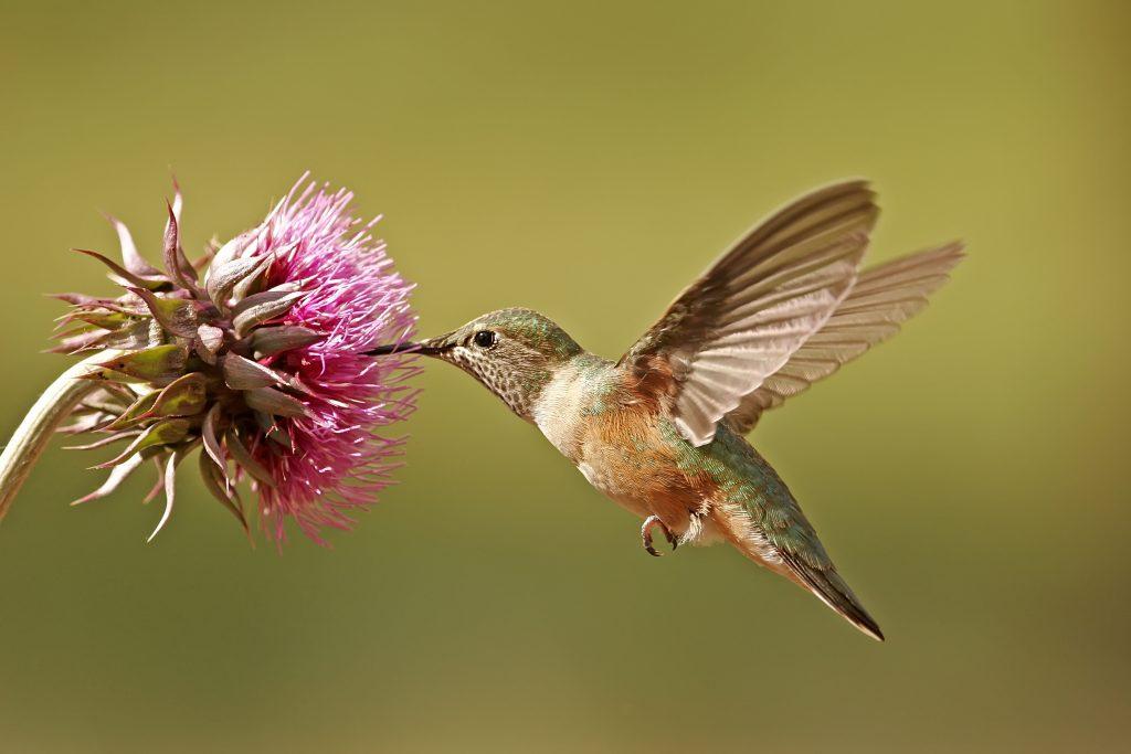 Colibrí polinizando una flor